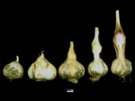bolting variability in garlic All 839